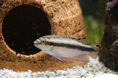 淡水魚 アクアリウム